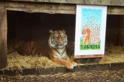 ZSL-London-Zoo---Sumatran-Tiger-Print3